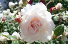 Роза Маргарет Мерілл — опис, характеристики, посадка і догляд