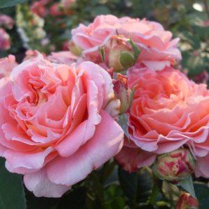 Роза Notre Dame du Rosaire — опис, основні характеристики