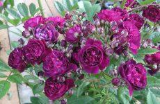 Роза Перенниал Блю — опис, розведення, секрети догляду