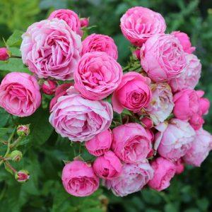 Роза Помпонелла — опис сорту, особливості догляду