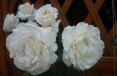 Роза Шнеевальцер — опис сорту, правильна посадка і догляд