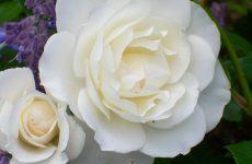 Роза Шнеевитхен — як виростити, доглянути, обрізати