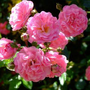 Роза Супер Дороті — опис, правила догляду, полив, підживлення