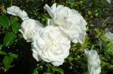 Роза Свани — опис, посадка і догляд навесні, влітку і восени