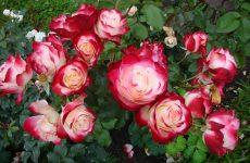 Роза Східний експрес — опис сорту Пульман, догляд і посадка