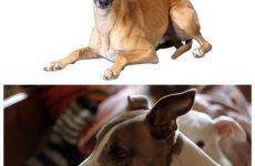 Уиппет собака – стандарти породи, історія становлення та правила утримання.