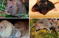 Види щурів з фото і назвами, опис особливостей