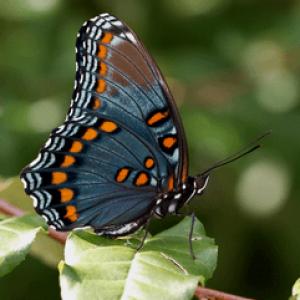 Отруйні метелики: найбільш небезпечні для людини метелики