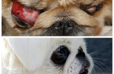Захворювання очей у пекінеса – перша допомога та профілактичні заходи