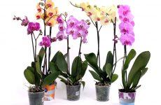 Які орхідеї підходять для розведення на підвіконні в квартирі