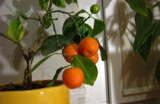 Міні-садок з цитрусових на балконі