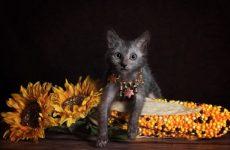 Лікою або Кіт-перевертень: особливості породи