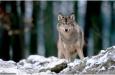 Як намалювати олівцем вовка