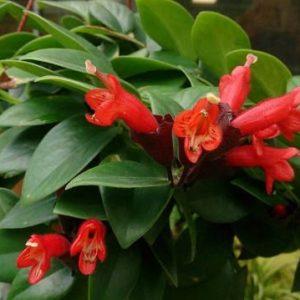 Есхінантус, зелений каскад для домашнього вирощування