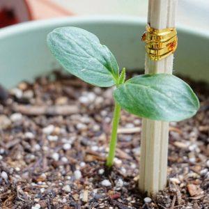 Як садити огірки, для максимальної кількості корисних властивостей