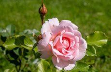 Красуня троянда тонкощі догляду, улюблена культура садівників