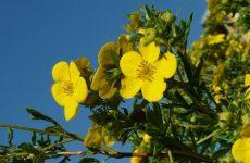 Перстач чагарникова, догляд та вирощування в умовах дачного саду
