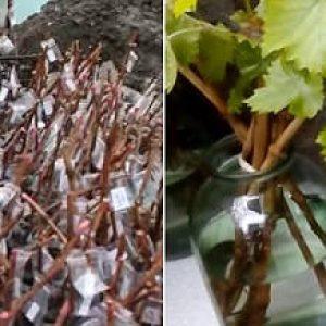 Вирощування винограду з живців або горизонтальними відводками