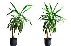 Юка, вирощування для дому — рослина дизайнерів інтер'єру