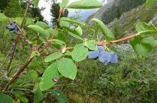 Жимолость їстівна, як виростити на присадибній ділянці