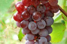 Як з винограду Лідія зробити десертне вино